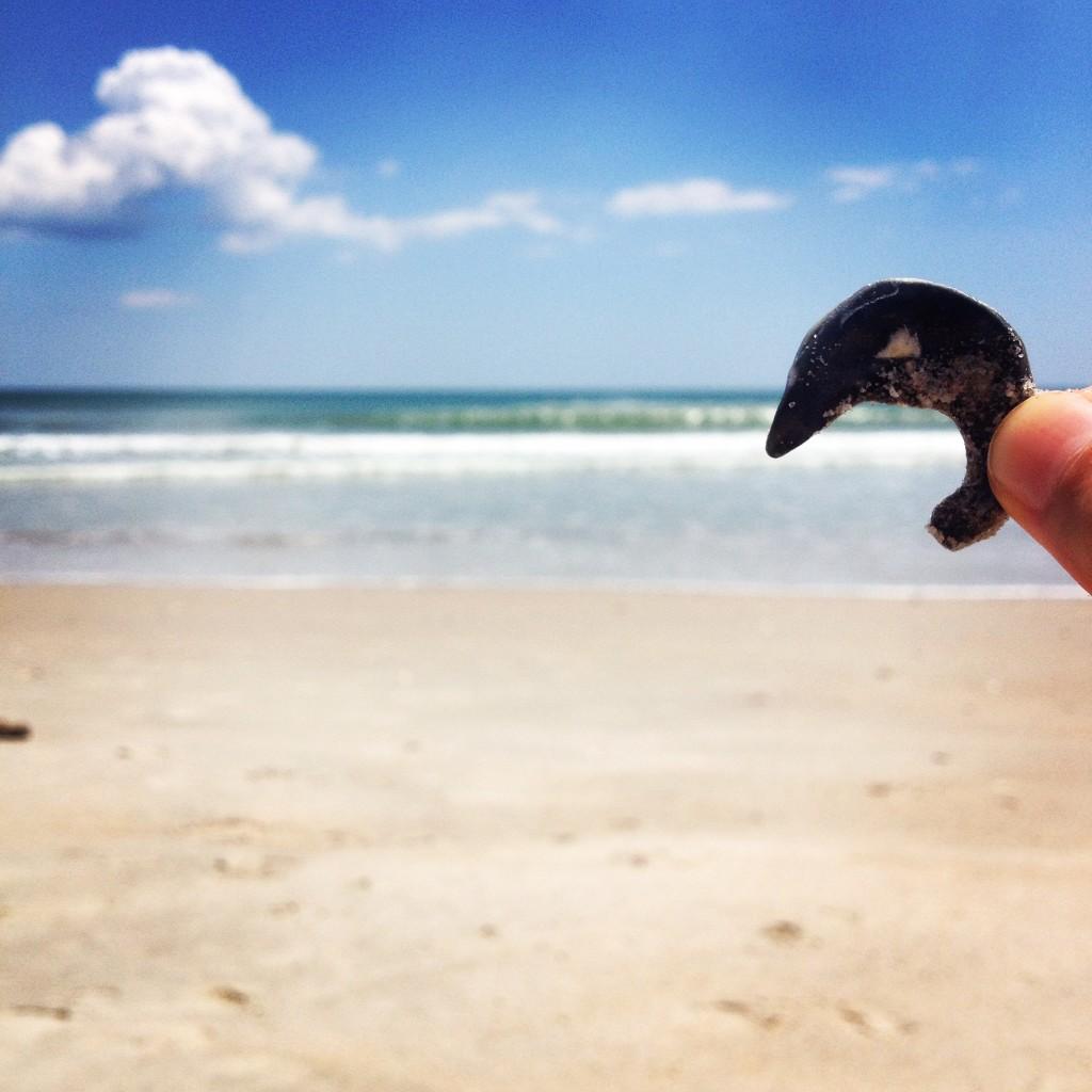 dolphin shell on the beach